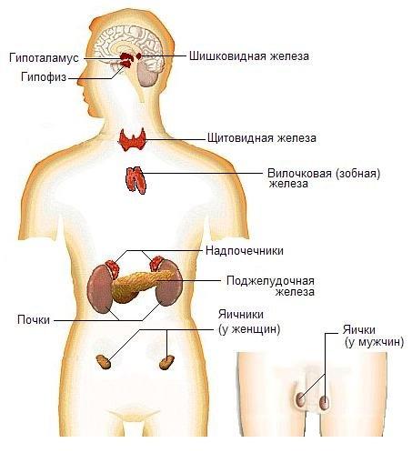 Эндокринные железы не имеют протоков и выбрасывают свои гормоны непосредственно в ток.