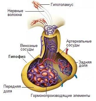 Антидиуретический гормон (вазопрессин) - Биохимия